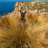 Sea Dragon Lodge, Pink Bay,Australian sea-lions,Kangaroo Island - South Australia,Nature's Pleasure Island, Australia's 3rd largest Island.