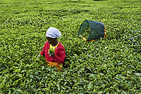 Kenya, Kericho county, Kericho, cueillette du thé // Kenya, Kericho county, Kericho, tea picker picking tea leaves