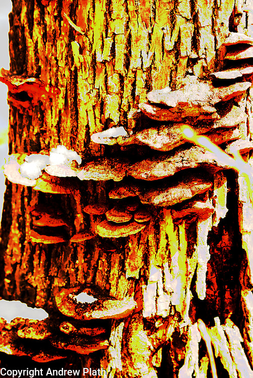HDR version of fungus on tree.