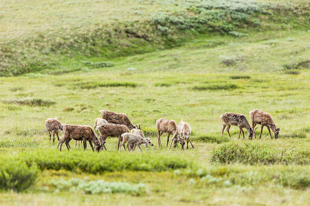 Herd of caribou (Rangifer tarandus) foraging in valley near Highway Pass in Denali National Park in Southcentral Alaska. Summer. Morning.
