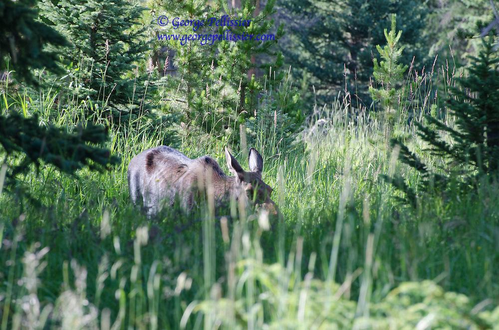 A Moose Calf in Rocky Mountain National Park.