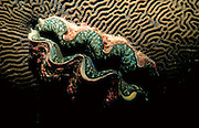 UNDERWATER MARINE LIFE WEST PACIFIC: Southwest CLAMS: Giant Clam Tridacna species