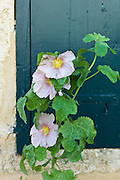 Traditional Lavatera flowering shrub at St Martin de Re, Ile de Re, France