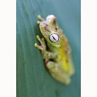 Canal Zone Tree Frog (Hypsiboas rufitelus) on rainforest leaf near Boca Tapada, Costa Rica, February, 2014.