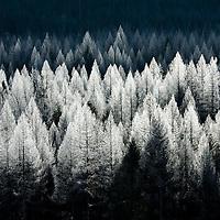 frosty backlit fir trees glacier national park
