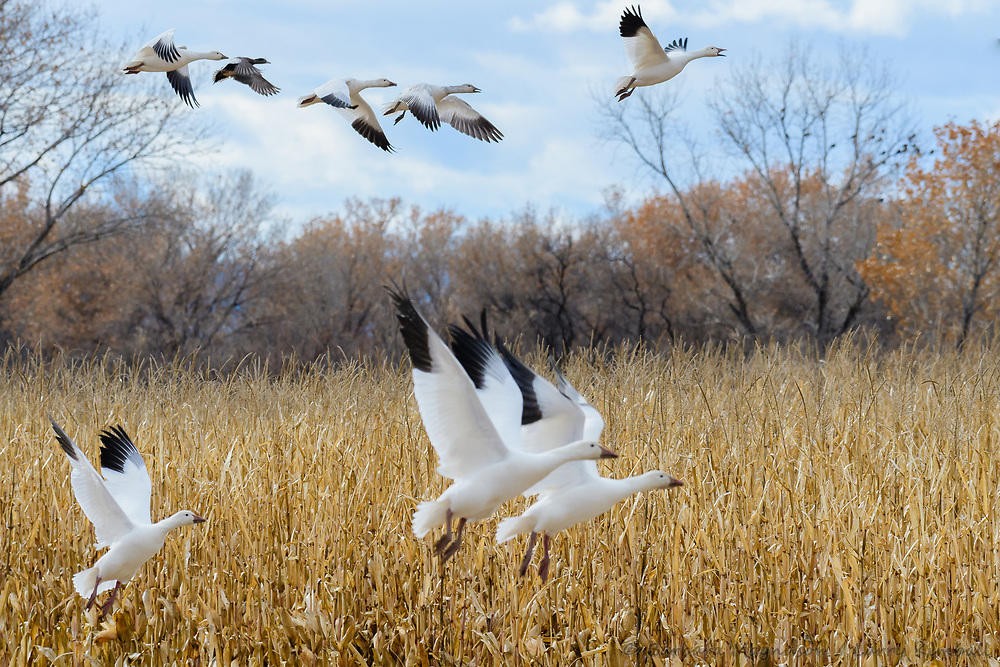 Snow Geese [Chen caerulescens] taking flight from corn field; Bosque del Apache NWR., NM