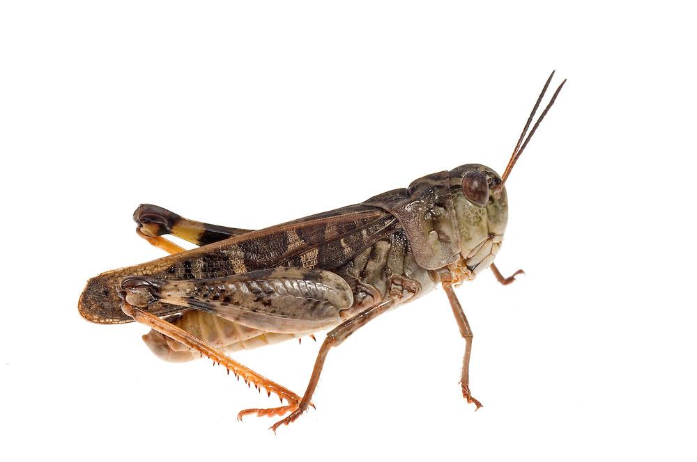 Wrinkled Grasshopper (Hippiscus ocelote)
