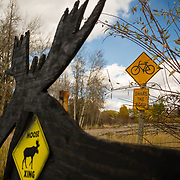 A moose, yield sign, and bicycling sign all converge along Highway 22 near Wilson, Wyoming.