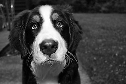 Bernese Mountain Dog, Aspen