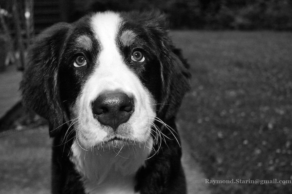 Bernese Mountain Dog, Aspen
