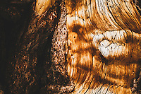 The details of an ancient limber pine in the Days Fork, Wasatch Mountains. During the late 1800's to early 1900's the forests of the Wasatch were clear cut. Much of what is seen today is what has been replanted, beginning in the 1920's. Ocassionally while hiking the Wasatch you may come across one of these gradfather trees… some believe they were left standing because they were too twisted to be used for lumber.