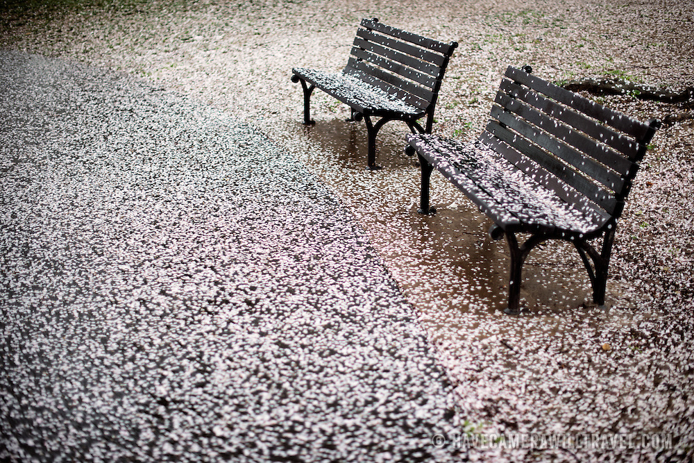 Pink cherry blossom petals create a blanket on the ground next to the Tidal Basin in Washington DC. The annual flowering of the approximately 1700 Yoshino cherry trees marks the unofficial start of Washington DC's spring.