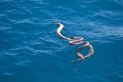 A pair of seasnakes mating in the waters off Broome's Cable Beach.