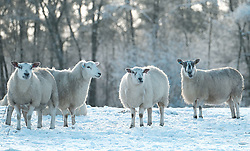 Sheep forage for food in the snow.<br /><br />The snow had taken West Lothian by surprise on Christmas night.<br /><br />(c) Alex Todd   Edinburgh Elite media