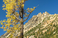 Kangaroo Ridge and Subalpine Larch (Larix lyallii) in autumn,North Cascades Washington