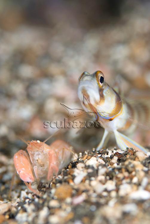 Slantbar Shrimpgoby, Amblyeleotris diagonalis, in burrow with comensal shrimp, KBR, Lembeh Strait, Sulawesi, Indonesia.