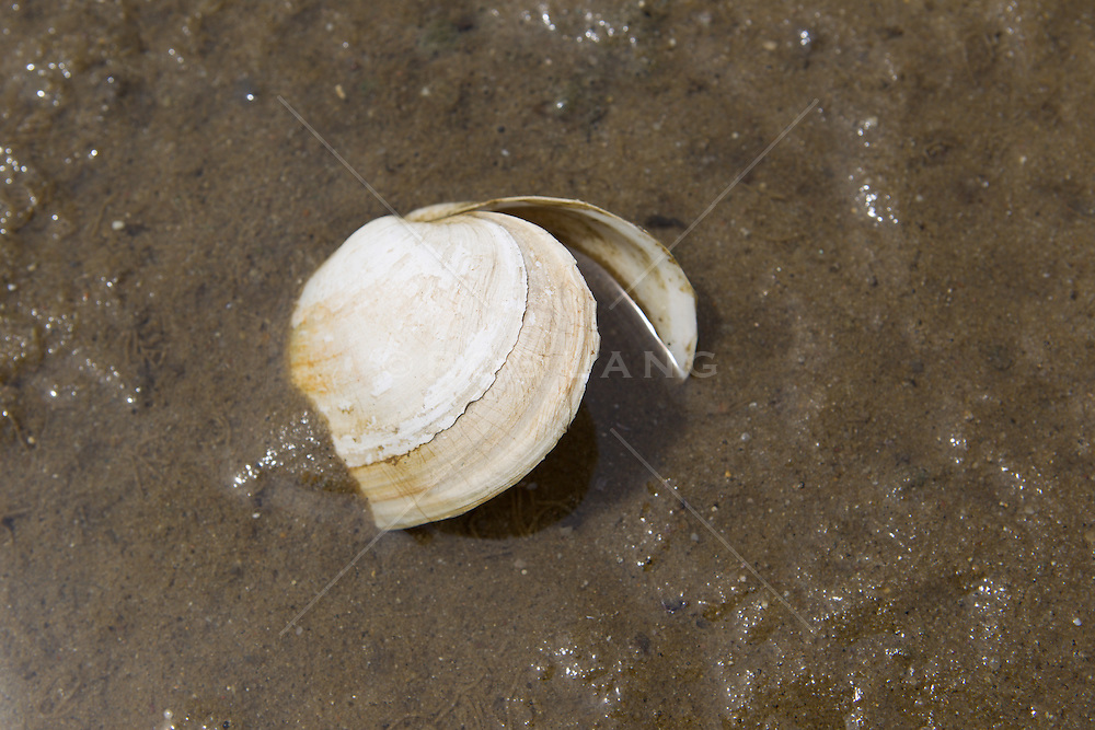 clam shell in the muddy water