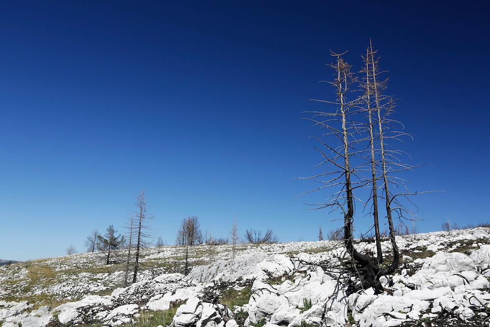 Burnt trees, Dugo Polje, Blidinje, Bosnia and Herzegovina.