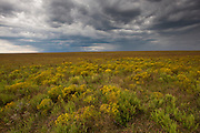 Broomweed blooms on the Autumn prairie at the Tall Grass Prairie National Preserve as a storm builds on the western horizon
