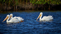 Three American White Pelicans. Blackpoint Wildlife Drive, Merritt Island National Wildlife Refuge. Image taken with a Nikon D4 camera and 500 mm f/4 VR lens (ISO 400, 500 mm, f/7, 1/4000 sec).