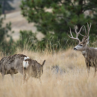 mule deer buck rutting does