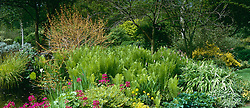 Early summer border at Glen Chantry. Cornus sanguinea 'Midwinter fire', Matteuccia struthiopteris and Primula pulverulenta.
