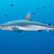 Grey reef shark (Carcharhinus amblyrhynchos) patrolling the reef at Blue Corner dive site in Palau