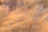 Wild grass is bent over by wind, forming a directional pattern, foothills on the west side of the Sandia Mountains, NM, © 2010 David A. Ponton