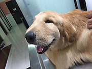 Mar 25, 2016 - Thailand - A Golden Retriever in Thailand who was stung by an insect just couldn't 'stop smiling'! Even after the dog was rushed to the vet, she kept smiling through the inflammation. The canine's owner, Natthathida Nilburt snapped the happy pup on her camera.  <br />