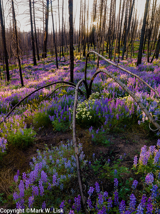 Lupine blooms in a burn area in the Fisher Çreek section of the Sawtooth Recreation Area, Idaho.