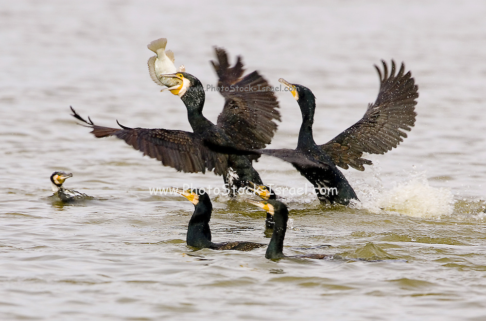 Great Cormorant (Phalacrocorax carbo) flock fishes in a fish pool, Hadera, Israel