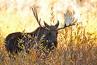 A Bull Moose feeds in the early morning in a northern Utah canyon.