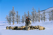 Domestic Sheep (Ovis aries) flock with shepherd in winter, Darkhad Depression, Mongolia