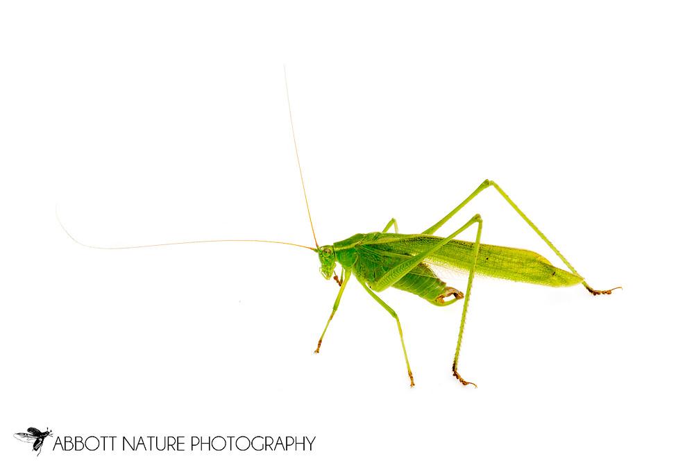 Texas Bush Katydid (Scudderia texensis) - male<br /> TEXAS: Blanco Co.<br />Pedernales Falls State Park<br />20-May-2012<br />J.C. Abbott #2592 &amp; K.K. Abbott