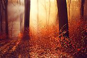 Winter sunrise in a beech tree forest