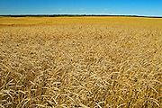 wheat field<br /> Fairlight<br /> Saskatchewan<br /> Canada
