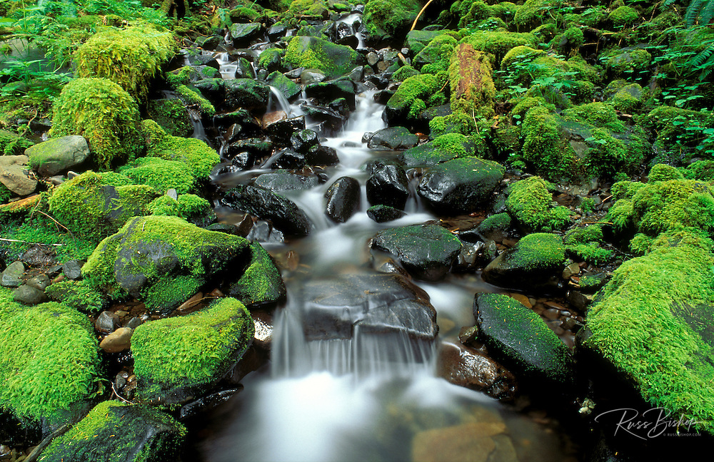 Lush moss covered rocks and stream in the Soleduck Rain Forest, Olympic National Park, Washington