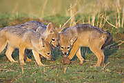 Black-backed Jackal<br /> Canis mesomelas<br /> 6 week old pup(s) playing with dung<br /> Masai Mara Triangle, Kenya