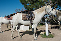 White saddled Camargue stallion wearing bridle and bit, standing at hitching post in the Camargue region of southern France.<br />