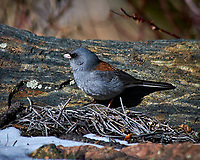 Early springtime Gray-headed Junco in Rocky Mountain National Park.Image taken with a Nikon D300 camera and 80-400 mm VR lens (ISO 200, 400 mm, f/5.6, 1/2000 sec).