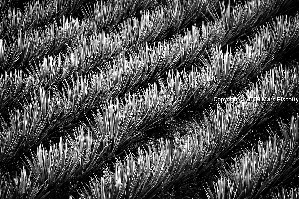 SHOT 2/16/09 5:36:52 PM - Rows of blue agave grow on a hillside near San Sebastian del Oeste, Mexico. Agave is a succulent plant of a large botanical genus of the same name, belonging to the family Agavaceae. Blue agave, the tequila weed of the Agave tequilana species, is an agave plant that is an important economic product of Jalisco state in Mexico due to its role as the base ingredient of tequila, a popular alcoholic drink. Tequila is produced by removing the heart of the plant in its twelfth year, normally weighing between 35-90 kg (77-198 lb). This heart is stripped of leaves and heated to remove the sap, which is fermented and distilled. Other beverages like mezcal and pulque are also produced from blue and other agaves by different methods (though still using the sap) and are regarded as more traditional. The tequila agave grows natively in Jalisco, favoring the high altitudes of more than 1,500 m and sandy soil. Commercial and wild agaves have very different life cycles. Both start as a large succulent, with spiky fleshy leaves, which can grow to over two meters in length. San Sebastián was founded as a mining town in 1605 during the Spanish colonial period. Gold, silver and lead were mined around the area. More than 25 mines and a number of foundries had been established by 1785. The town was declared a city in 1812 and reached a peak population of some 20,000 people by 1900. The prosperity of the city declined after the revolution of 1910. At the start of the 21st century, it has a population of less than 1,000. It receives some tourist visits from nearby Puerto Vallarta, as it is served by an airfield and recent road improvements have cut the transit time by car from Puerto Vallarta to less than 2 hours. (Photo by Marc Piscotty / © 2009)