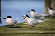 White-fronted Tern, Southland, New Zealand