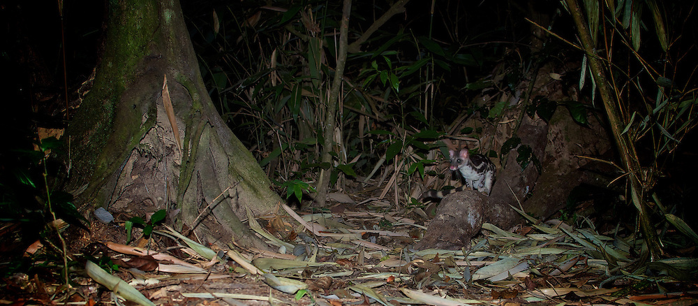 Banded linsang (Prionodon linsang) -  It is the rarest of the civets, and is sometimes called the tiger-civet.