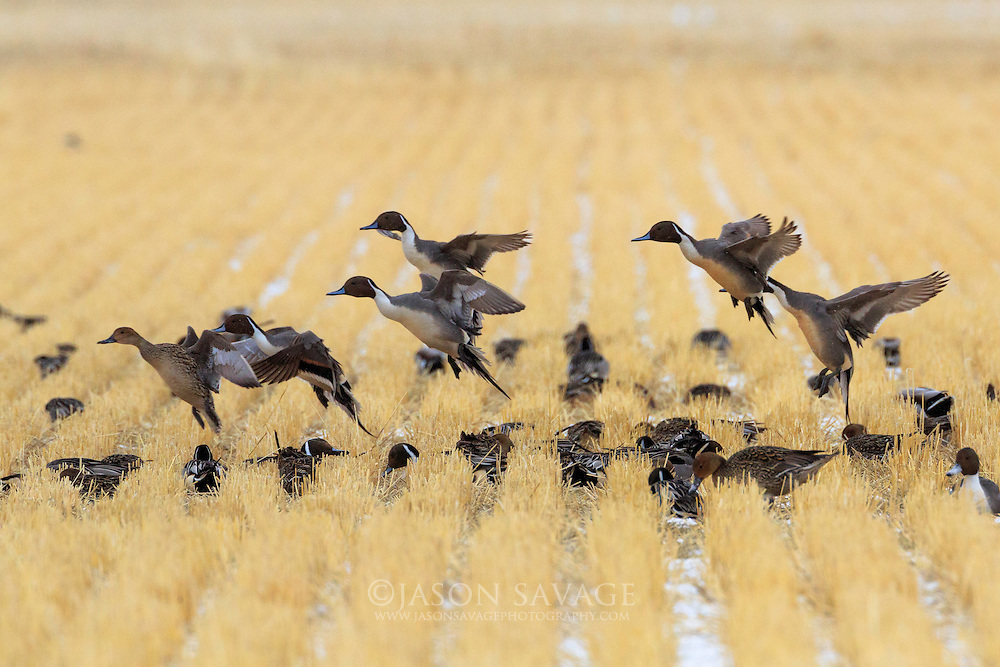 Pintail Ducks near Freezeout Lake, Montana