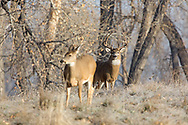 A mature whitetail buck follows a doe across a frosty field during the autumn rut.
