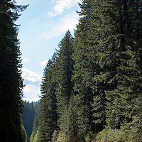 The McKenzie River Highway is lined with evergreen trees, part of the Willamette National Forest in Oregon.