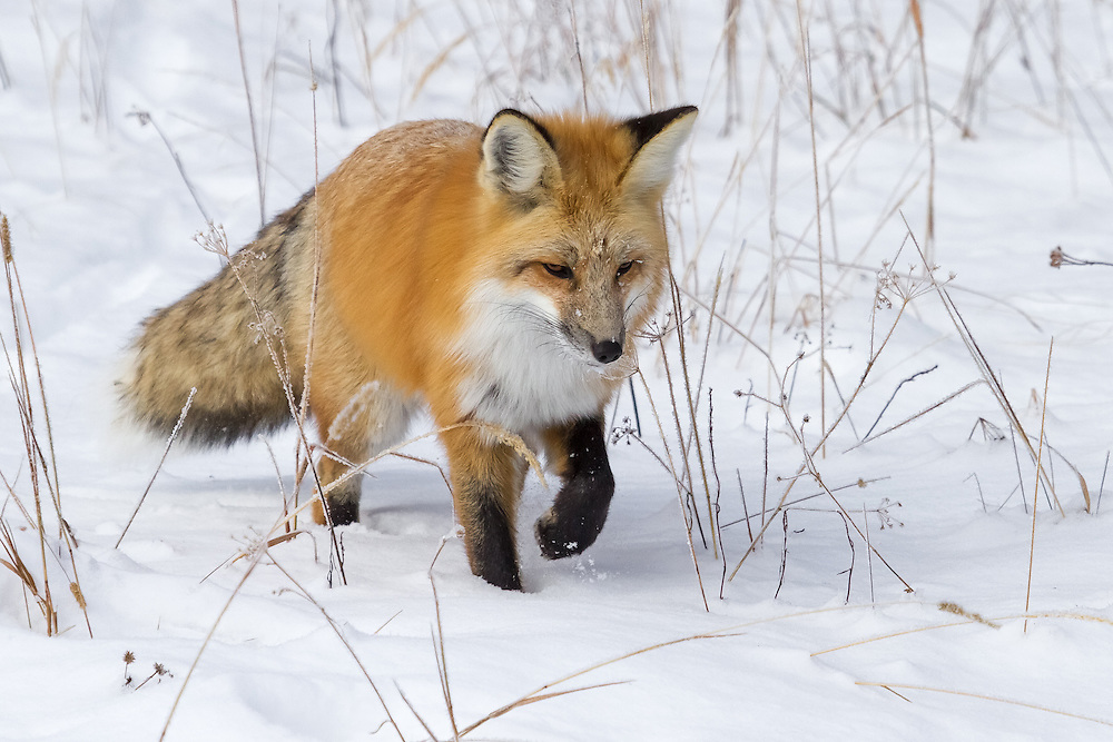 Although the red fox is found throughout the Northern Hemisphere, the fox is not a common sight in the Greater Yellowstone Ecosystem. This elusive canid is primarily nocturnal, but can often be spotted in the winter months hunting its prey under the snow.