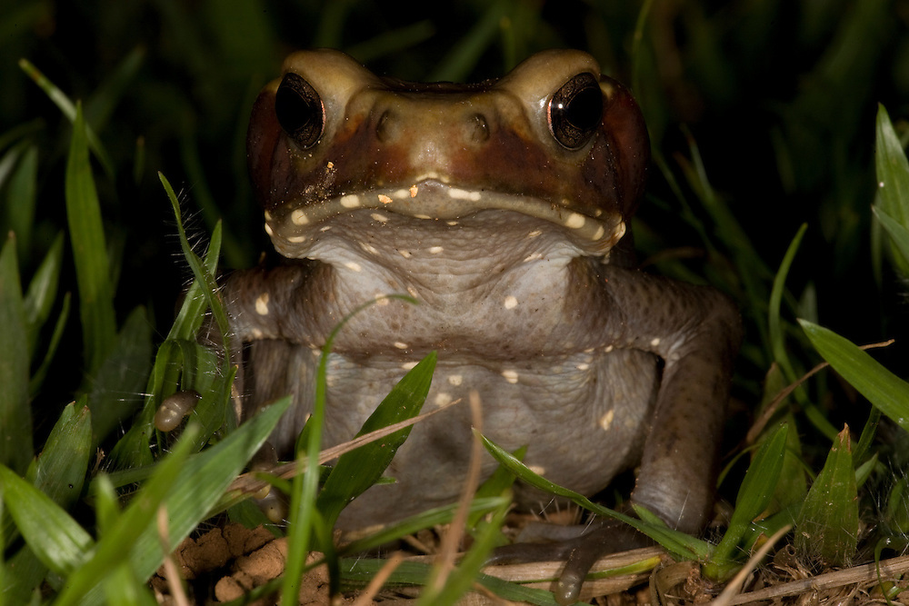 Mato Grosso, Brazil. September 30th  2007.  Cristalino State Park. Toad (Bufo guttatus).
