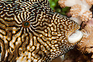 A clos look at the mappa puffer fish, Arothron mappa, Tubbataha Reef, Philippines.