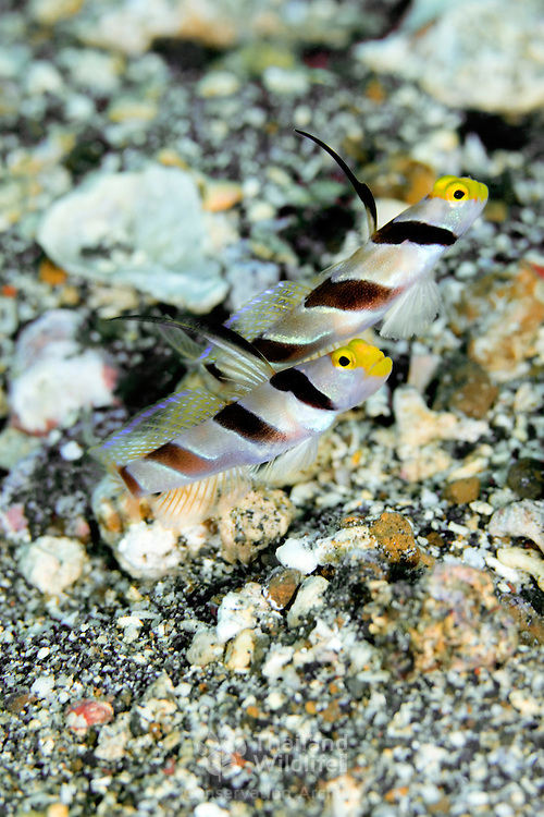 Yellow nose partner goby Stonogobiops xanthorhinica at, Lembeh Straits, Indonesia.